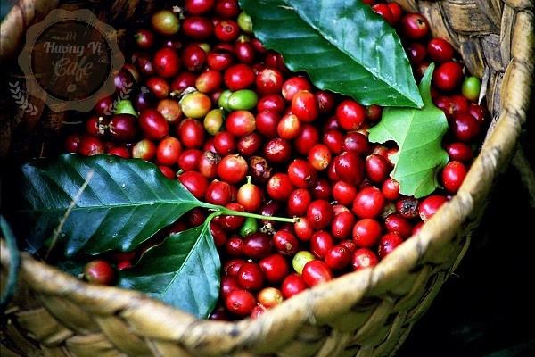 Cà phê chè Arabica