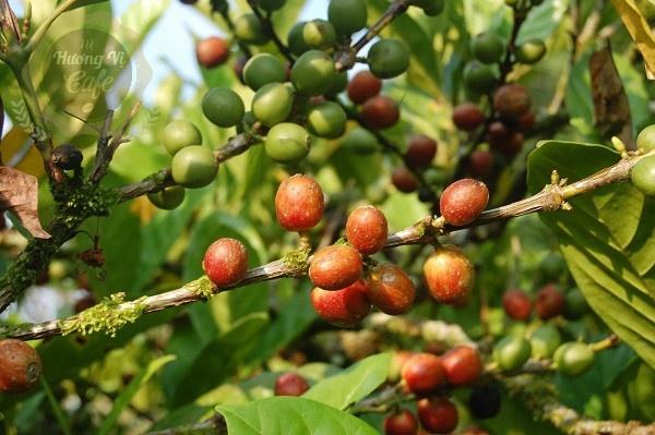 cà phê mít cherry