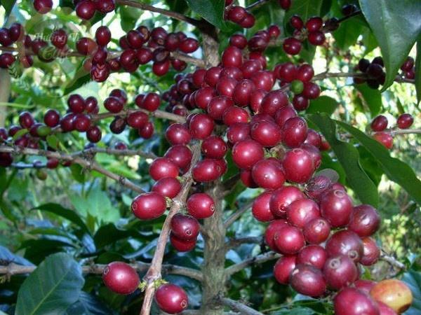 cà phê vối robusta